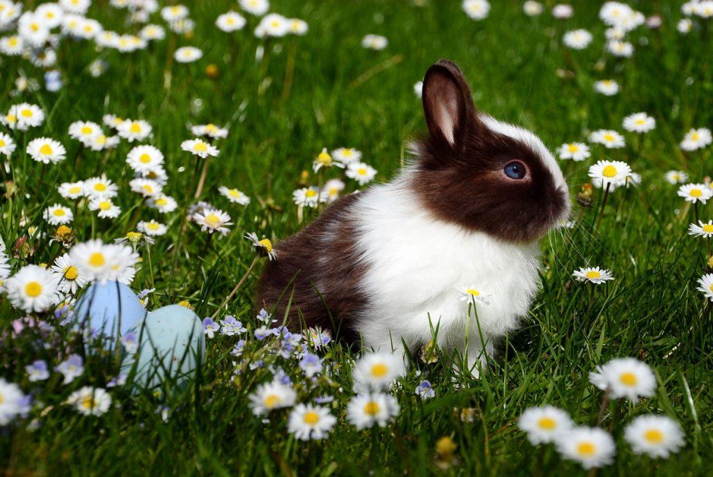 Immune Response Improvement in Rabbits