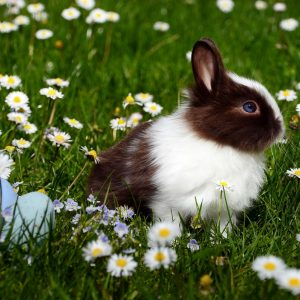Immune Response Improvement In Rabbits